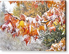First Snow Acrylic Print by Thomas R Fletcher