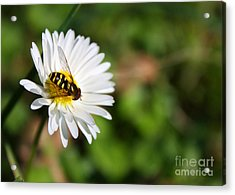 First Spring Bee Acrylic Print