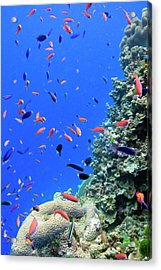 Fish On Tropical Coral Reef Acrylic Print by Carl Chapman