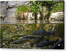 Fish Swimming In An Aquarium Acrylic Print by Todd Gipstein