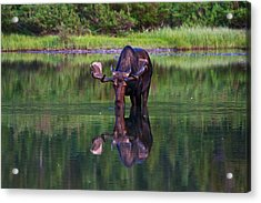 Fishercap Bull Acrylic Print