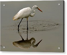 Fishing Egret With Droplets - C3282q Acrylic Print by Paul Lyndon Phillips