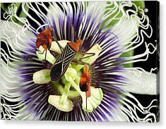 Flag-footed Bug Anisocelis Flavolineata Acrylic Print by Christian Ziegler