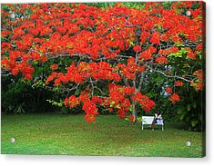 Acrylic Print featuring the photograph Flamboyant Tree- St Lucia by Chester Williams
