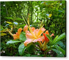 Flame Azalea Acrylic Print by Vix Views