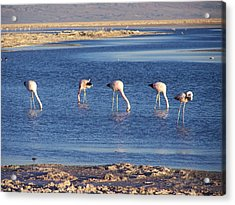 Flamencos At The Atacama Salar Acrylic Print