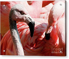 Flamigos Close Up Acrylic Print
