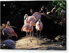 Flamingo Acrylic Print by Marc Bittan