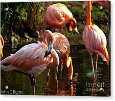 Acrylic Print featuring the photograph Flamingos by John Burns