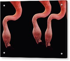 Flamingos Acrylic Print by Lourry Legarde