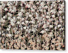 Flamingos Acrylic Print by Original Artworks by Grooveworks (Flickr name - jules_art)