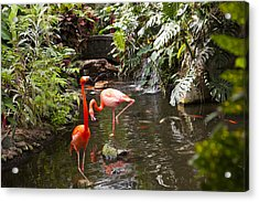 Flamingos Wades In Shallow Water Acrylic Print by Taylor S. Kennedy