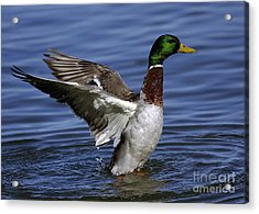 Flapping At Dusk Acrylic Print by Inspired Nature Photography Fine Art Photography
