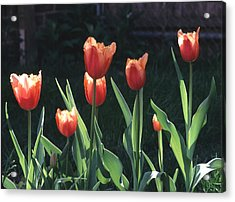 Acrylic Print featuring the photograph Flared Red Yellow Tulips by Tom Wurl