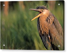 Fledgling Great Blue Heron Acrylic Print by Natural Selection Bill Byrne