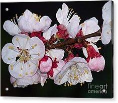 Fleurs D'abricotier Acrylic Print by Sylvie Leandre