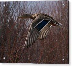 Flight Is Beautiful Acrylic Print by Kevin Bone