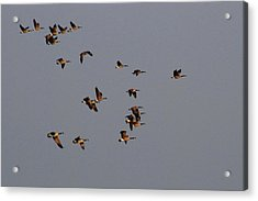Flight - Near Evening Acrylic Print by Janice Adomeit
