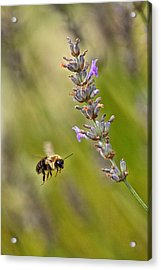 Flight Of The Bumble Acrylic Print by Karol Livote
