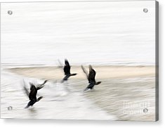 Flight Of The Cormorants Acrylic Print by David Lade