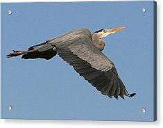 Acrylic Print featuring the photograph Flight Of The Great Blue Heron by Myrna Bradshaw