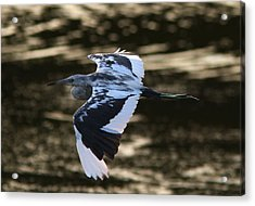 Flight Of The Tweener Acrylic Print by Phil Lanoue