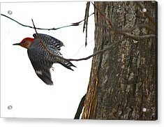 Acrylic Print featuring the photograph Flight Of The Woodpecker by Brian Stevens