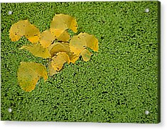 Floating Cottonwood Leaves Acrylic Print