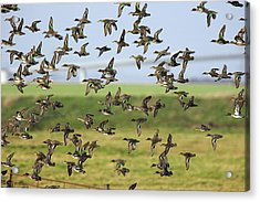 Flock Of Common Teal Acrylic Print by Duncan Shaw