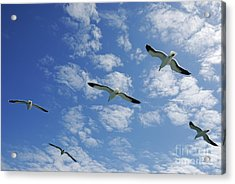 Flock Of Five Seagulls Flying In The Sky Acrylic Print by Sami Sarkis