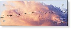 Flock Of Geese At Sunset Acrylic Print by Larry Ricker