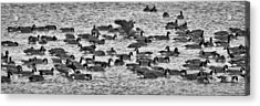 Acrylic Print featuring the photograph Flockin' Around by Kevin Munro
