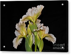 Floral White Iris Buds Flower Bouquet Acrylic Print by Nature Scapes Fine Art