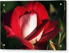 Floribunda Rose (rosa 'molly Mcgredy') Acrylic Print by Georgette Douwma