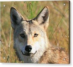 Florida Coyote Portrait  Acrylic Print