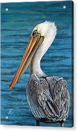 Florida Pelican Acrylic Print by Peggy Dreher