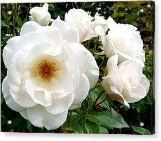 Flourishing Iceberg Roses Acrylic Print by Will Borden