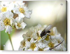 Flower Fly Acrylic Print by Michael Wilcox