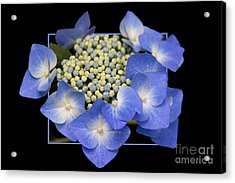 Flower In Frame -11 Acrylic Print