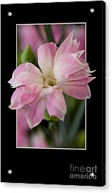 Flower In Frame -3 Acrylic Print