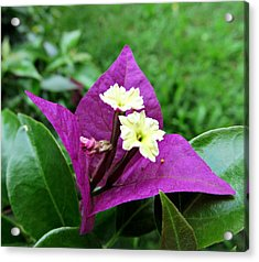 Flower In Lila Acrylic Print by Olivia Narius