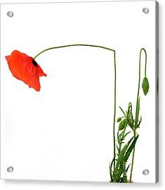 Flower Poppy In Studio. Papaver Rhoeas. Acrylic Print by Bernard Jaubert