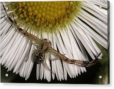 Acrylic Print featuring the photograph Flower Spider On Fleabane by Daniel Reed