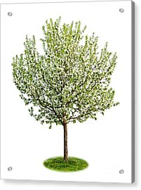 Flowering Apple Tree Acrylic Print by Elena Elisseeva