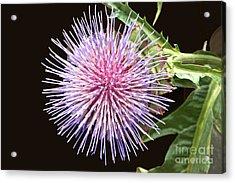 Flowering Artichoke Top View Acrylic Print by Byron Varvarigos