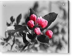Flowering Crabtree In Select Color Acrylic Print by Mark J Seefeldt