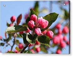 Flowering Crabtree Acrylic Print by Mark J Seefeldt