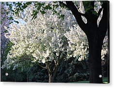 Flowering Springtime Tree Acrylic Print by James Hammen