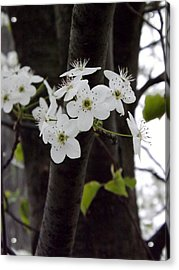 Acrylic Print featuring the photograph Flowering Tree 4 by Gerald Strine