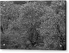Acrylic Print featuring the photograph Flowering Trees- St Lucia by Chester Williams